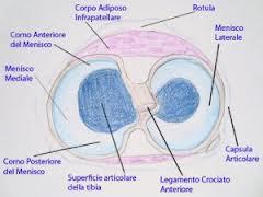 fisionomia legamento crociato anteriore